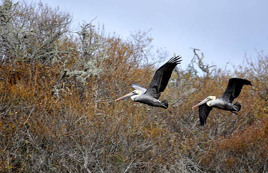Pelicans in the Brush by AJ  Schibig