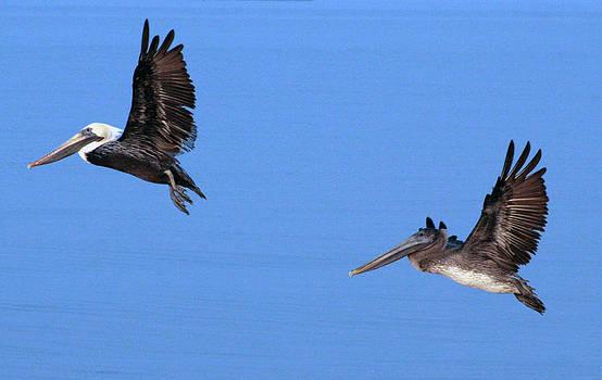 Pelicans by Laurie Poetschke