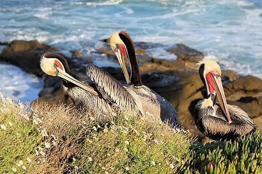 Jane Girardot - Pelicans Preening