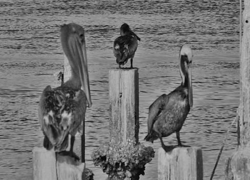 Pelicans by Tara Miller