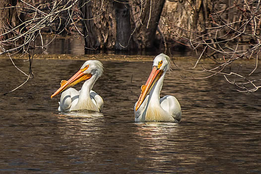 Pelicans by Tom Gort