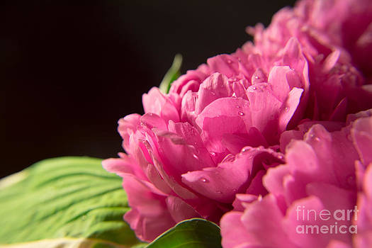 Peonies by Mary Licanin