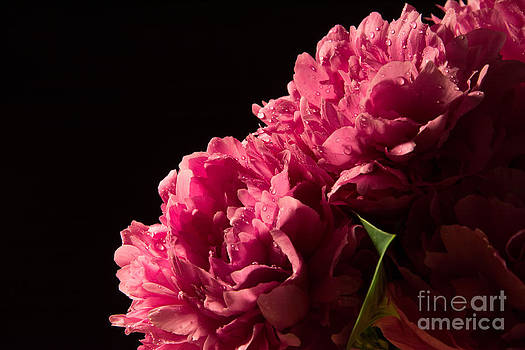 Peonies on Black by Mary Licanin