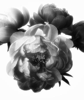 Peonies by Stephen Walker