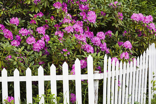 Peonies With Fence by Alan L Graham