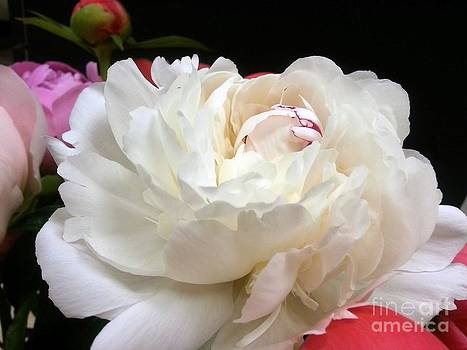 Peony Addiction by Heather L Wright