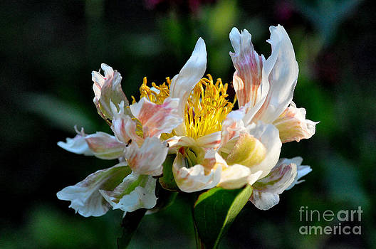 Peony Green Lotus  2 by Tanya  Searcy