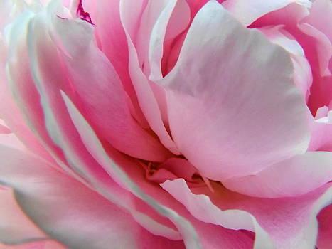 Dale Kauzlaric - Pink Peony