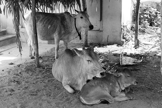 People and Cows - Cow Family -Mamallapuram by Stephan Schwartz