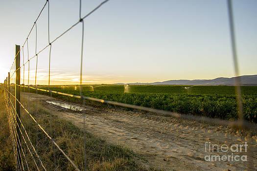 Pepper Field by Stefano Piccini