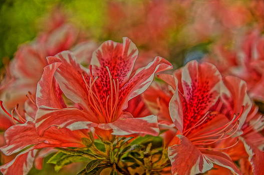 Peppermint Azaleas by Julie Grandfield