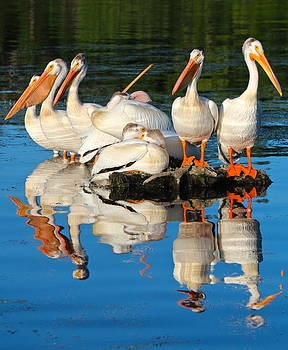 Perched Pelicans by Kim Kruger