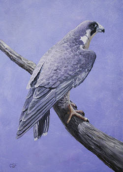 Peregrine Falcon by Crista Forest