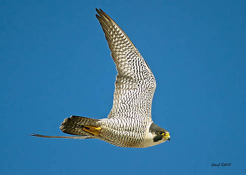 Peregrine Falcon Fly-By by Stephen  Johnson