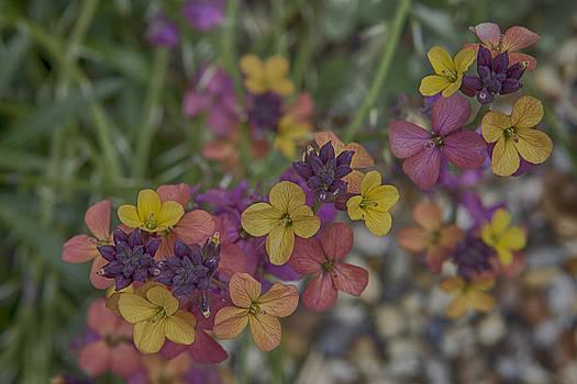Stephen Barrie - Perennial Wallflower