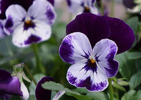 Dawn Hagar - Perfect Pansies
