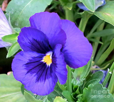 Perfect Pansy by Phyllis Kaltenbach