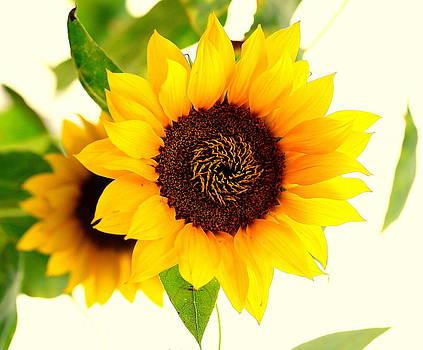 Perfect Sunflower by Silvie Gunawan