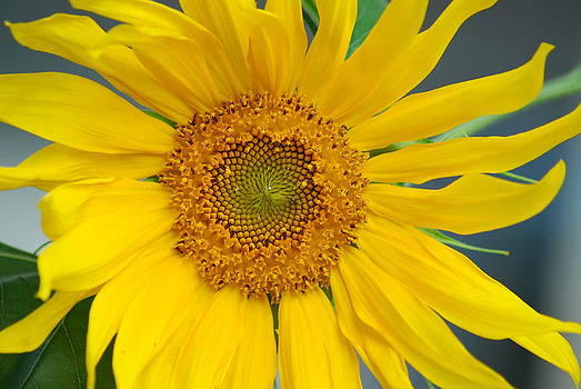 Perfect Sunflower by Wanda Jesfield