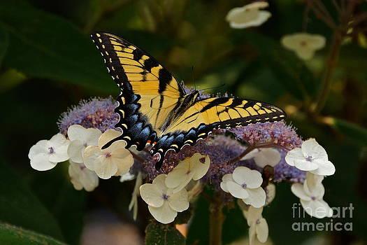 Byron Varvarigos - Perfect Tiger Swallowtail Butterfly
