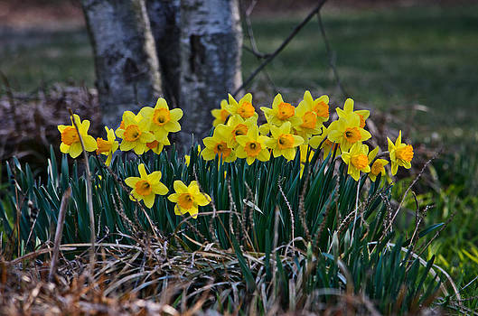 Perky Daffodils by Donna Harding