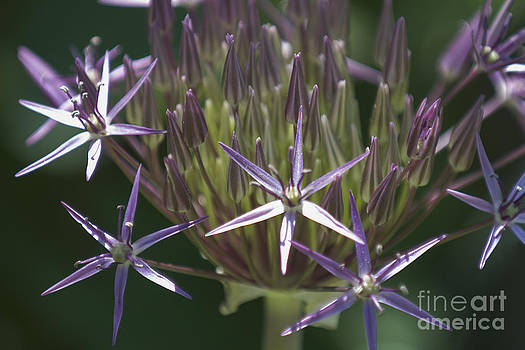 Lauren Brice - Persian Allium