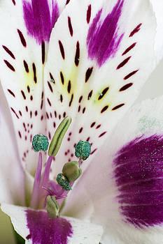 Peruvian Lily by Daniel Csoka
