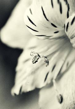 Peruvian Lily by Heather Bridenstine
