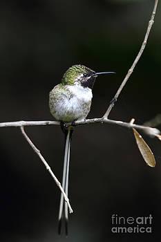 James Brunker - Peruvian Sheartail Hummingbird