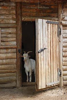 Joe Cashin - Pet Goat