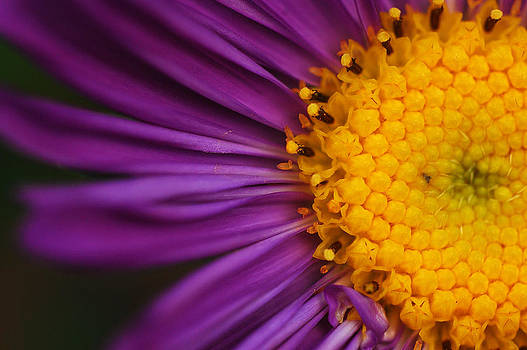Petals closeup by Amit Rawal