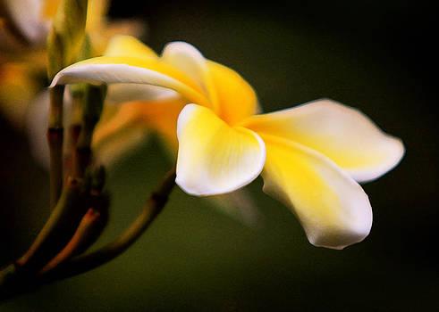 John Cardamone - Petals II