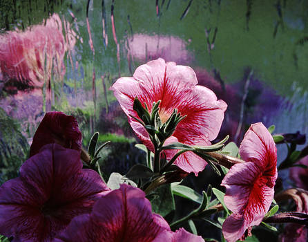 Petunia Reflection by Randy Grosse