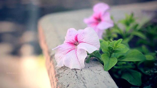 Petunia by Yekaterina Grigoryeva