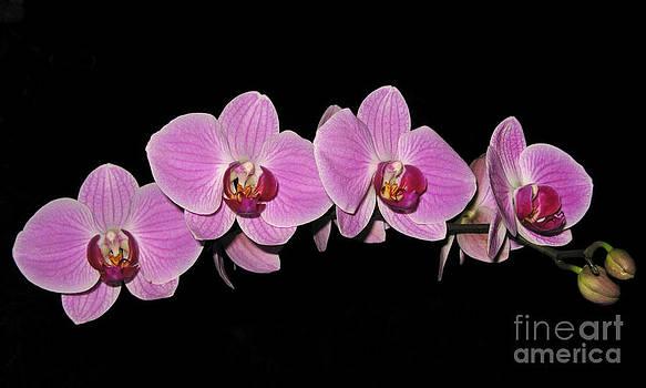 Phalaenopsis Arc by Elizabeth Debenham