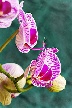 Phalaenopsis Orchid on Teal by Dana Moyer