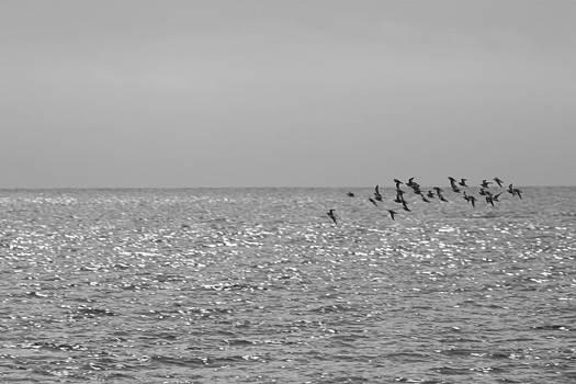 Phalaropes over the Ocean by Bob Richter
