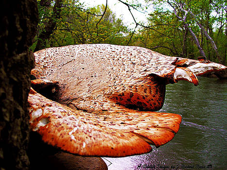 Pheasant's Back Polypore by Mountain Mann