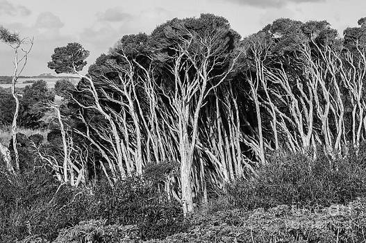 Bob Phillips - Phillip Island Trees 2