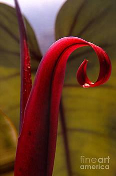 Philodendron Curl by Eva Kato