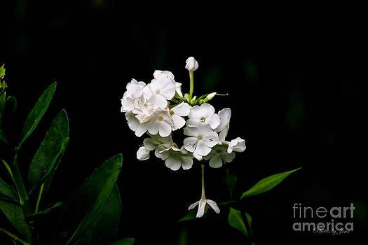 Phlox Blossom by Jinx Farmer