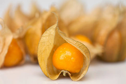 Physalis by Nina Peterka
