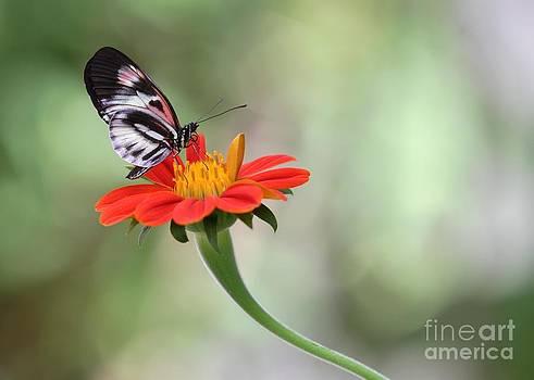 Sabrina L Ryan - Piano Wings Butterfly
