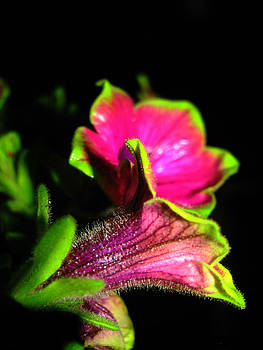 Picasso Petunia by Lisa Waggoner