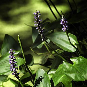 Lynn Palmer - Pickerel Weed Blooms