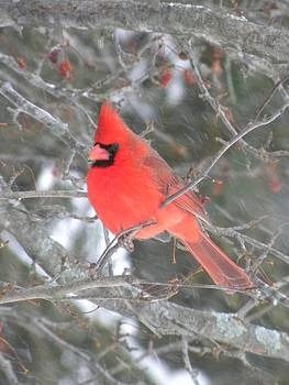 Peggy  McDonald - Picture Perfect Cardinal