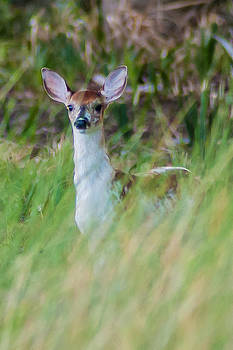 Charles Moore - PIEBALD FAWN IN THE MARSH