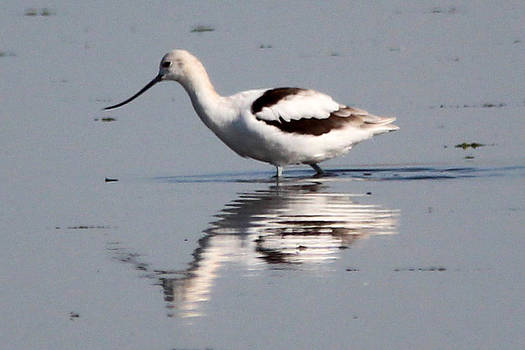Pied Avocet by Gerald Murray Photography