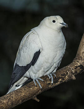 Pied Imperial Pigeon by Gerald Murray Photography