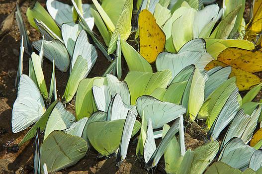 Pete  Oxford - Pierid Butterflies Sip Minerals Yasuni